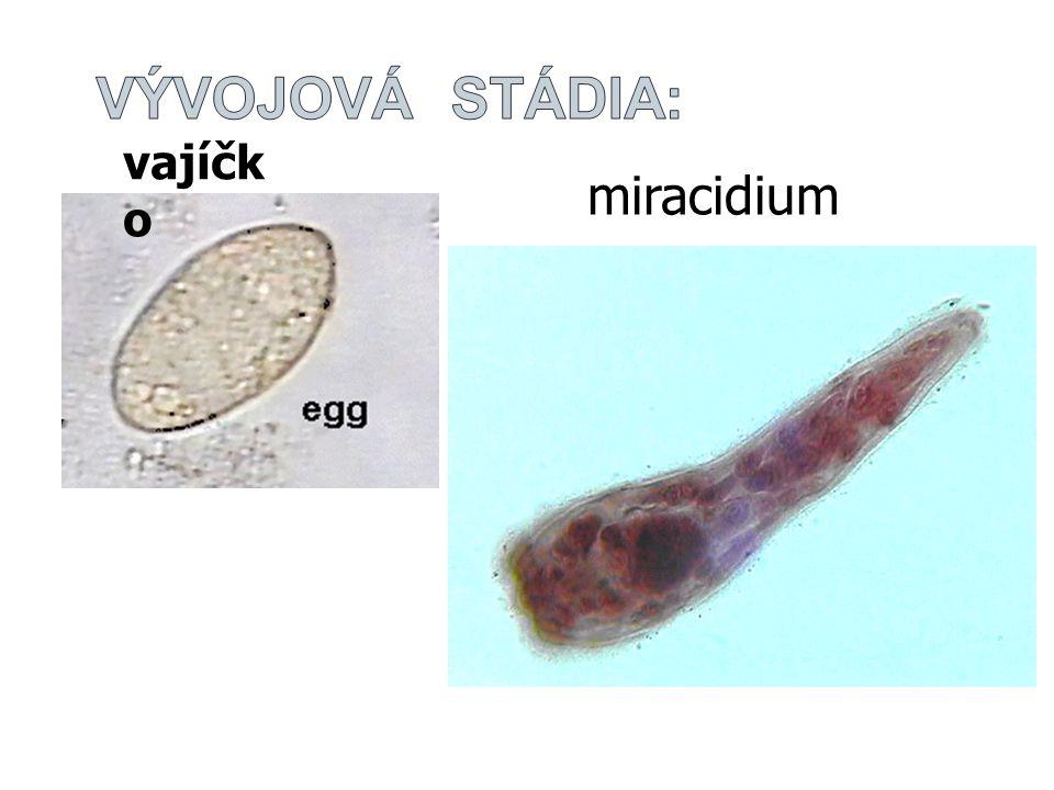 miracidium vajíčk o