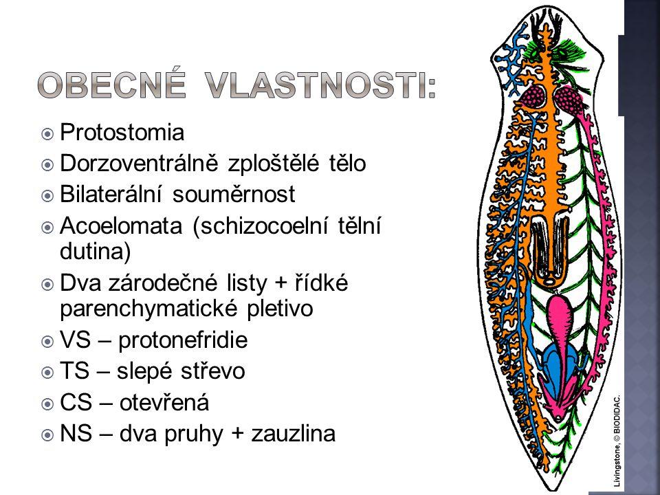  Protostomia  Dorzoventrálně zploštělé tělo  Bilaterální souměrnost  Acoelomata (schizocoelní tělní dutina)  Dva zárodečné listy + řídké parenchy