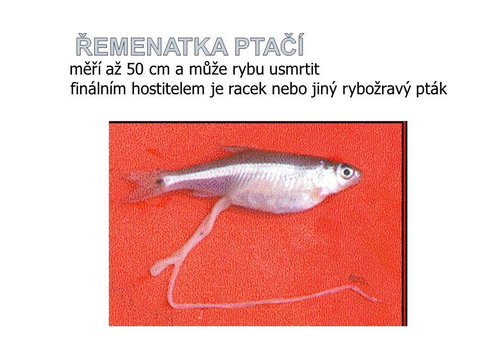 měří až 50 cm a může rybu usmrtit finálním hostitelem je racek nebo jiný rybožravý pták