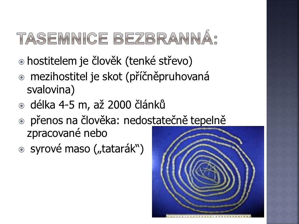  hostitelem je člověk (tenké střevo)  mezihostitel je skot (příčněpruhovaná svalovina)  délka 4-5 m, až 2000 článků  přenos na člověka: nedostateč