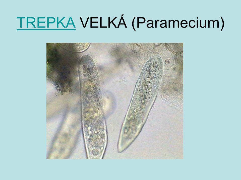 TREPKATREPKA VELKÁ (Paramecium)