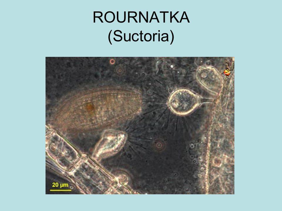 ROURNATKA (Suctoria)