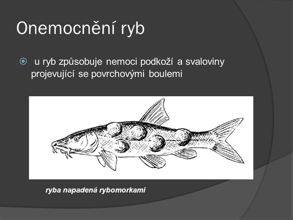Onemocnění ryb  u ryb způsobuje nemoci podkoží a svaloviny projevující se povrchovými boulemi ryba napadená rybomorkami
