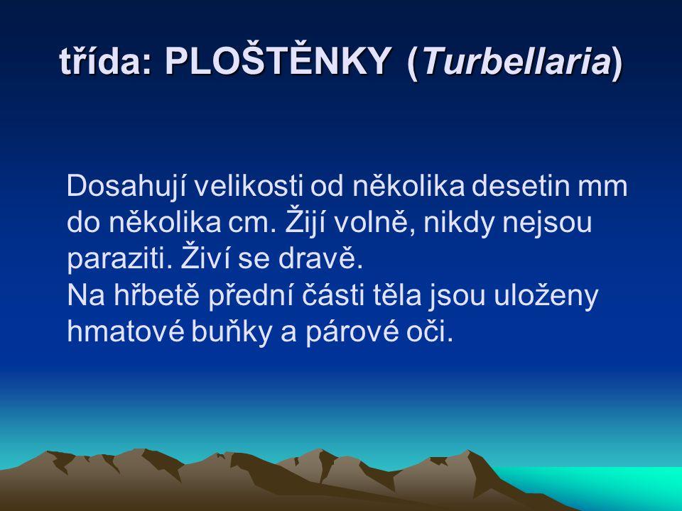 třída: PLOŠTĚNKY (Turbellaria) Dosahují velikosti od několika desetin mm do několika cm. Žijí volně, nikdy nejsou paraziti. Živí se dravě. Na hřbetě p