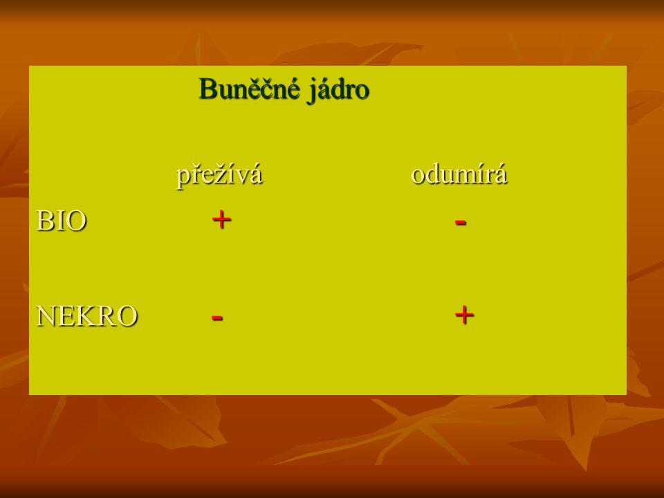 Buněčné jádro Buněčné jádro přežívá odumírá přežívá odumírá BIO + - NEKRO - +