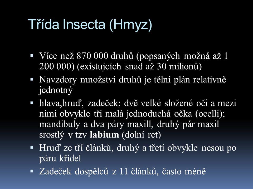 Třída Insecta (Hmyz)  Více než 870 000 druhů (popsaných možná až 1 200 000) (existujcích snad až 30 milionů)  Navzdory množství druhů je tělní plán