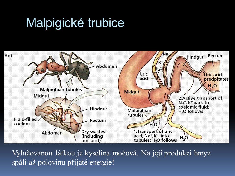 Malpigické trubice Vylučovanou látkou je kyselina močová. Na její produkci hmyz spálí až polovinu přijaté energie!