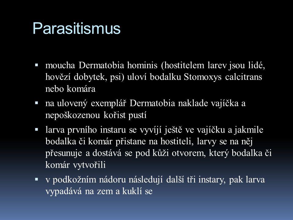 Parasitismus  moucha Dermatobia hominis (hostitelem larev jsou lidé, hovězí dobytek, psi) uloví bodalku Stomoxys calcitrans nebo komára  na ulovený