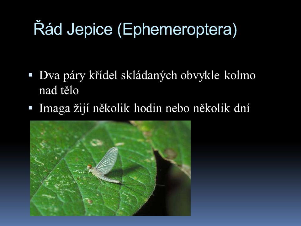 Řád Jepice (Ephemeroptera)  Dva páry křídel skládaných obvykle kolmo nad tělo  Imaga žijí několik hodin nebo několik dní