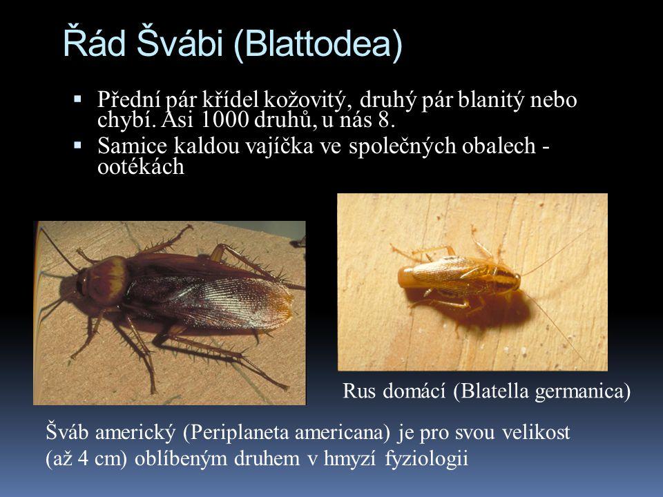 Řád Švábi (Blattodea)  Přední pár křídel kožovitý, druhý pár blanitý nebo chybí. Asi 1000 druhů, u nás 8.  Samice kaldou vajíčka ve společných obale