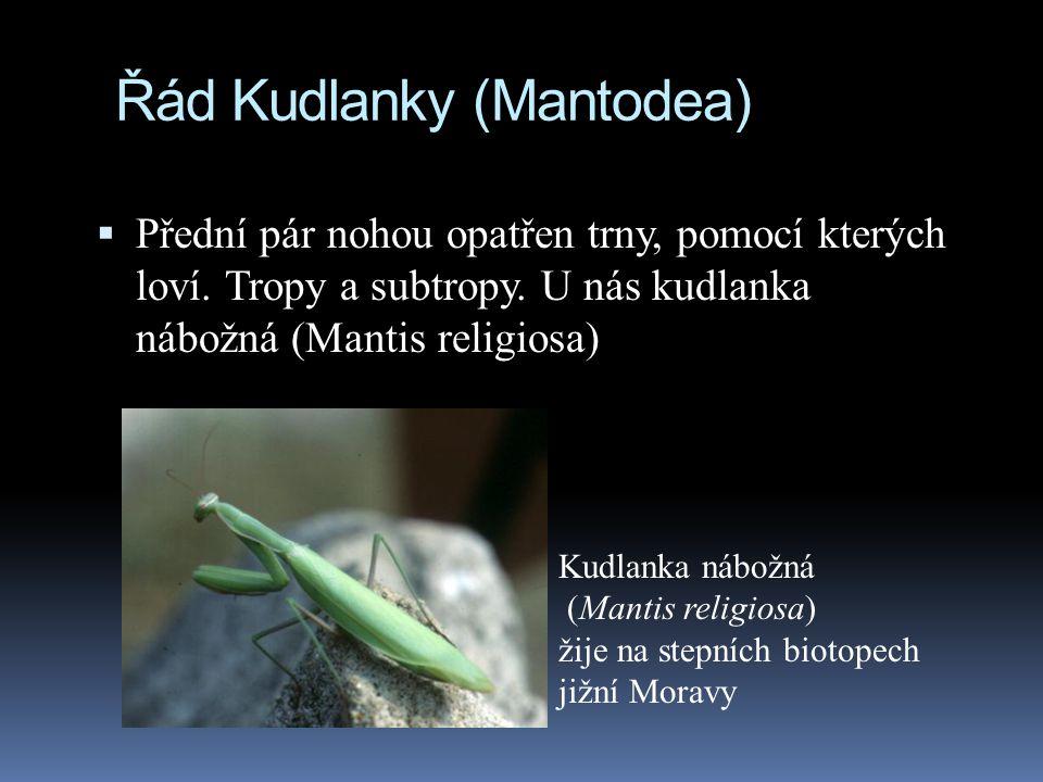 Řád Kudlanky (Mantodea)  Přední pár nohou opatřen trny, pomocí kterých loví. Tropy a subtropy. U nás kudlanka nábožná (Mantis religiosa) Kudlanka náb