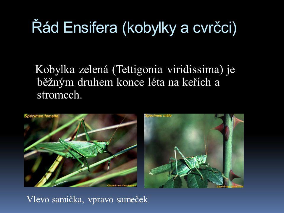 Řád Ensifera (kobylky a cvrčci) Kobylka zelená (Tettigonia viridissima) je běžným druhem konce léta na keřích a stromech. Vlevo samička, vpravo sameče