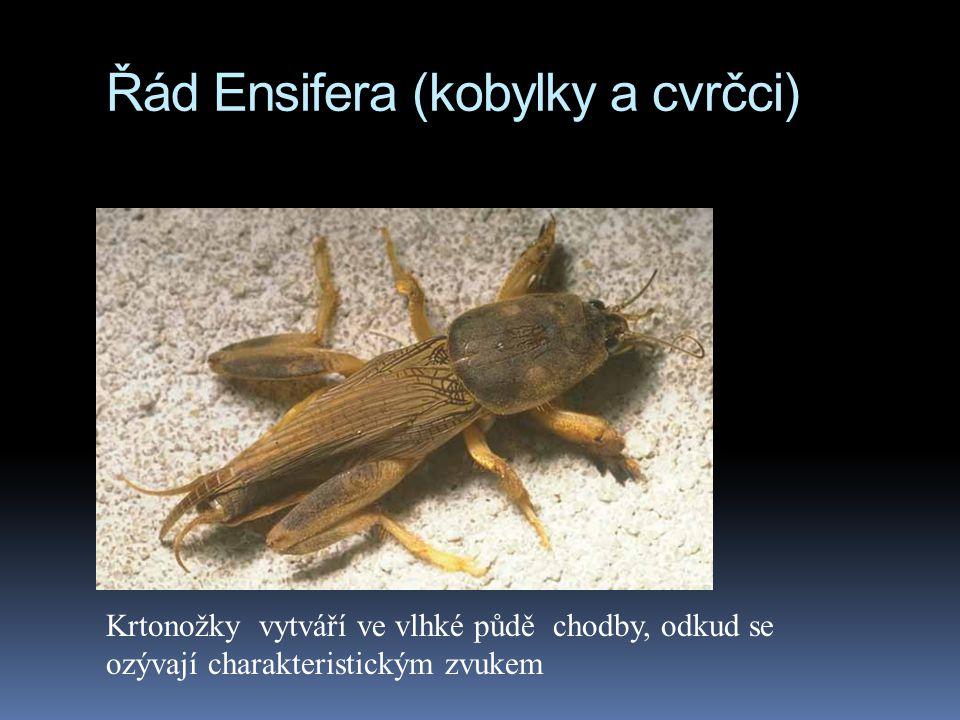 Řád Ensifera (kobylky a cvrčci) Krtonožky vytváří ve vlhké půdě chodby, odkud se ozývají charakteristickým zvukem