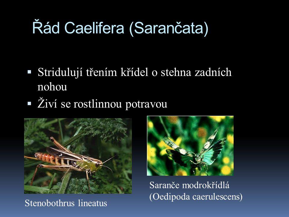 Řád Caelifera (Sarančata)  Stridulují třením křídel o stehna zadních nohou  Živí se rostlinnou potravou Stenobothrus lineatus Saranče modrokřídlá (O