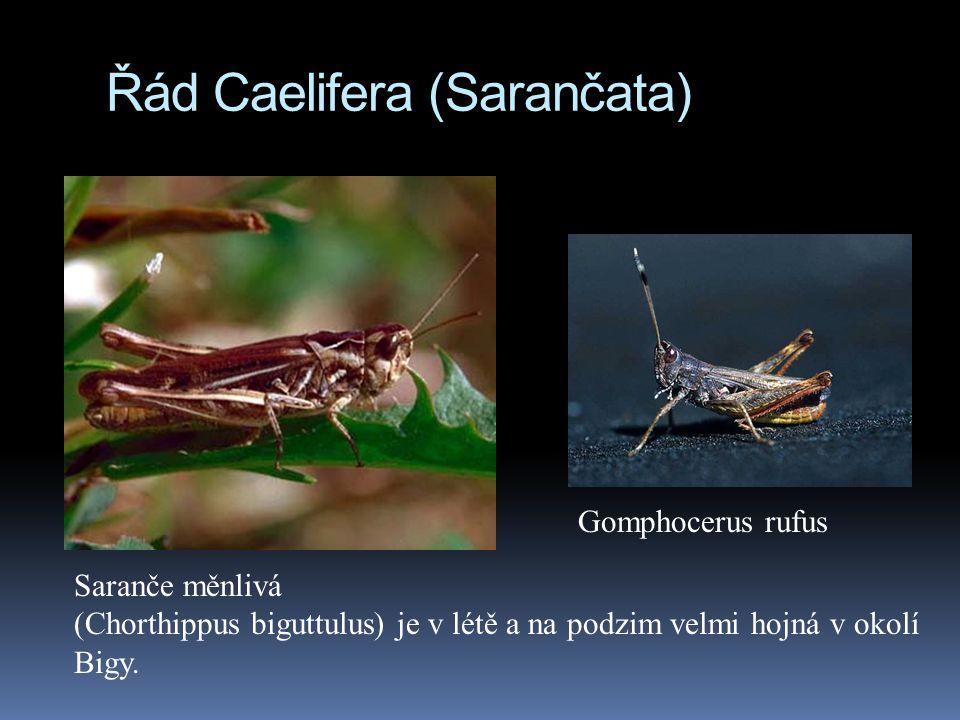 Řád Caelifera (Sarančata) Saranče měnlivá (Chorthippus biguttulus) je v létě a na podzim velmi hojná v okolí Bigy. Gomphocerus rufus