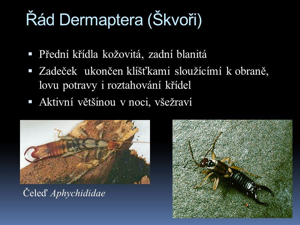 Řád Dermaptera (Škvoři)  Přední křídla kožovitá, zadní blanitá  Zadeček ukončen klíšťkami sloužícímí k obraně, lovu potravy i roztahování křídel  A