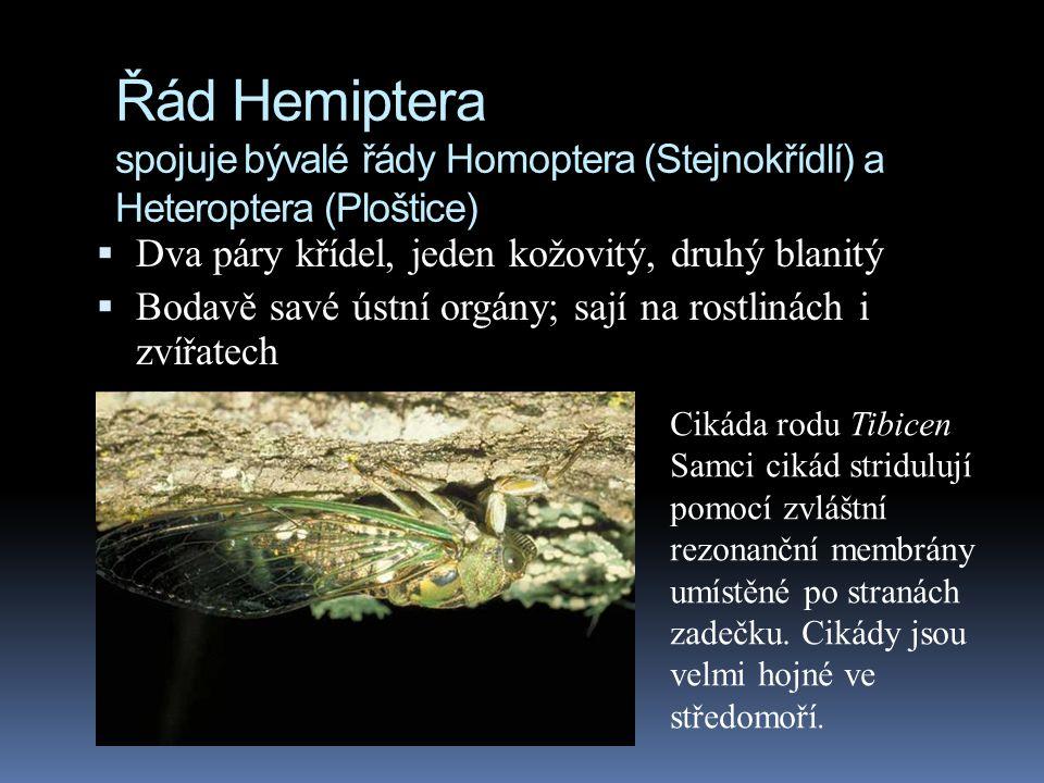 Řád Hemiptera spojuje bývalé řády Homoptera (Stejnokřídlí) a Heteroptera (Ploštice)  Dva páry křídel, jeden kožovitý, druhý blanitý  Bodavě savé úst
