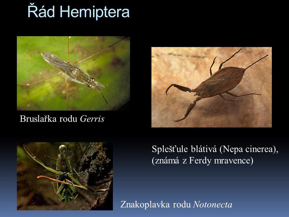 Řád Hemiptera Bruslařka rodu Gerris Splešťule blátivá (Nepa cinerea), (známá z Ferdy mravence) Znakoplavka rodu Notonecta