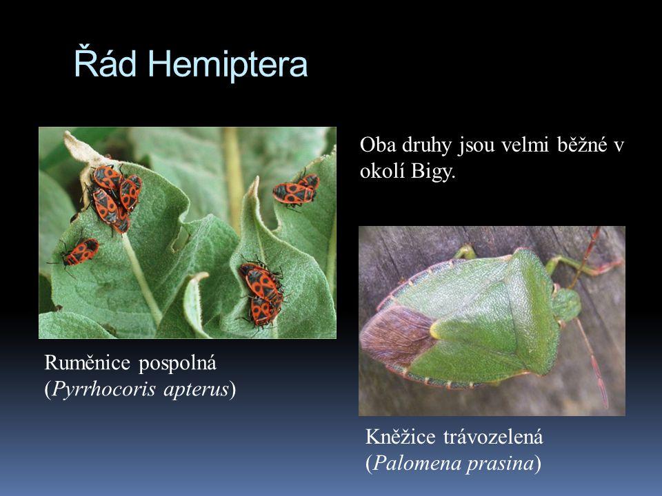 Řád Hemiptera Kněžice trávozelená (Palomena prasina) Ruměnice pospolná (Pyrrhocoris apterus) Oba druhy jsou velmi běžné v okolí Bigy.