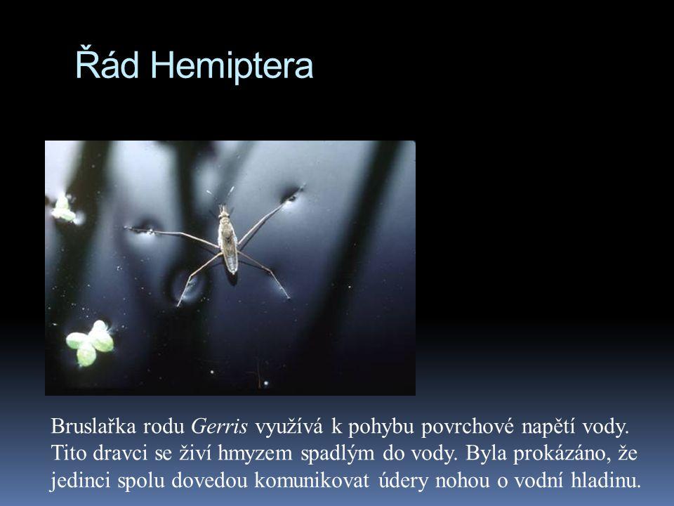 Řád Hemiptera Bruslařka rodu Gerris využívá k pohybu povrchové napětí vody. Tito dravci se živí hmyzem spadlým do vody. Byla prokázáno, že jedinci spo
