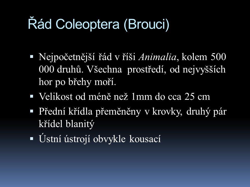 Řád Coleoptera (Brouci)  Nejpočetnější řád v říši Animalia, kolem 500 000 druhů. Všechna prostředí, od nejvyšších hor po břehy moří.  Velikost od mé