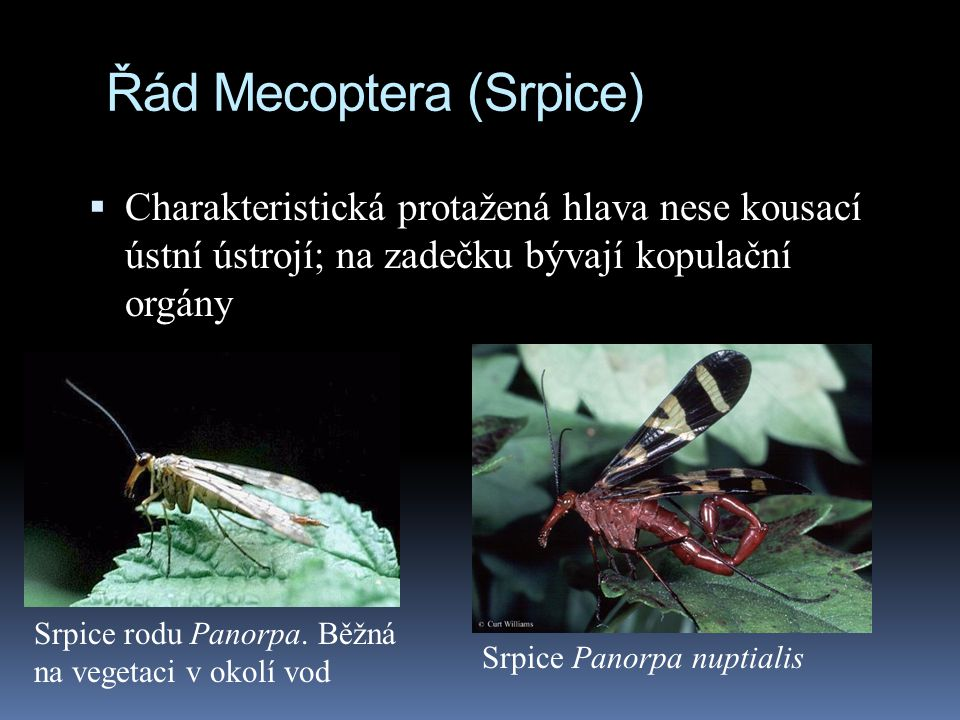 Řád Mecoptera (Srpice)  Charakteristická protažená hlava nese kousací ústní ústrojí; na zadečku bývají kopulační orgány Srpice Panorpa nuptialis Srpi