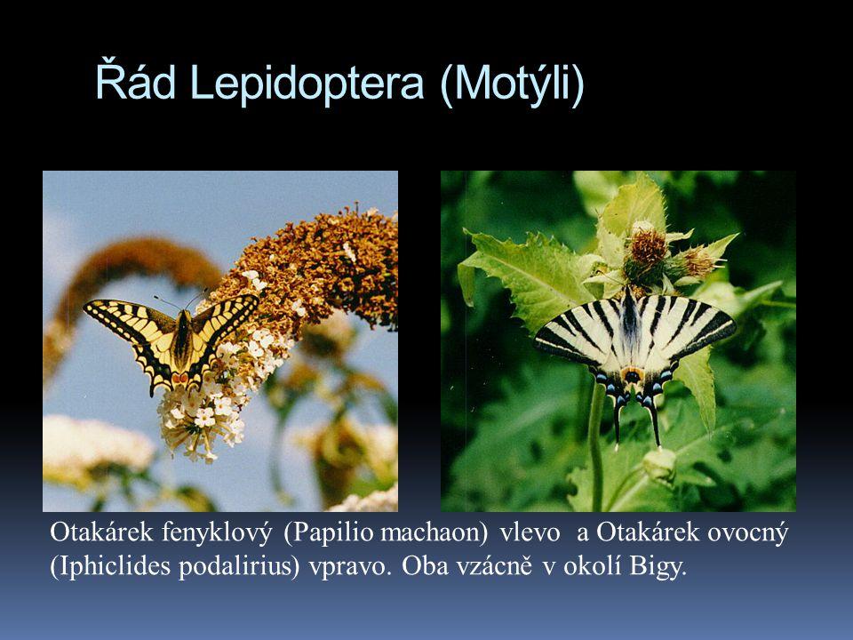 Řád Lepidoptera (Motýli) Otakárek fenyklový (Papilio machaon) vlevo a Otakárek ovocný (Iphiclides podalirius) vpravo. Oba vzácně v okolí Bigy.