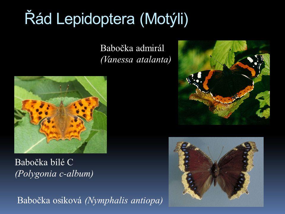 Řád Lepidoptera (Motýli) Babočka bílé C (Polygonia c-album) Babočka osiková (Nymphalis antiopa) Babočka admirál (Vanessa atalanta)