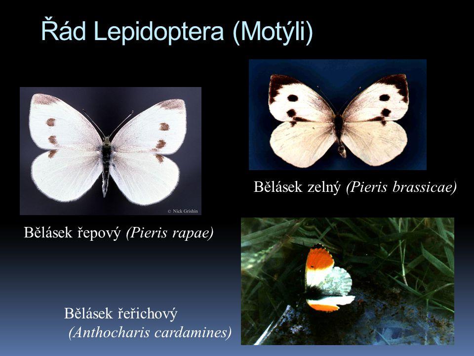 Řád Lepidoptera (Motýli) Bělásek řepový (Pieris rapae) Bělásek zelný (Pieris brassicae) Bělásek řeřichový (Anthocharis cardamines)