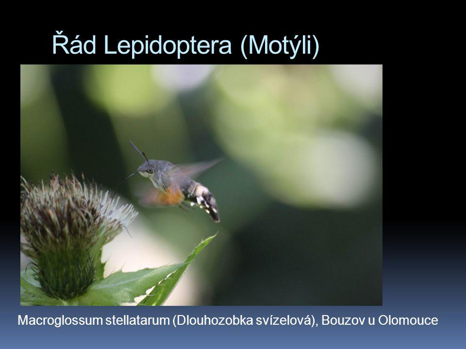 Řád Lepidoptera (Motýli) Macroglossum stellatarum (Dlouhozobka svízelová), Bouzov u Olomouce