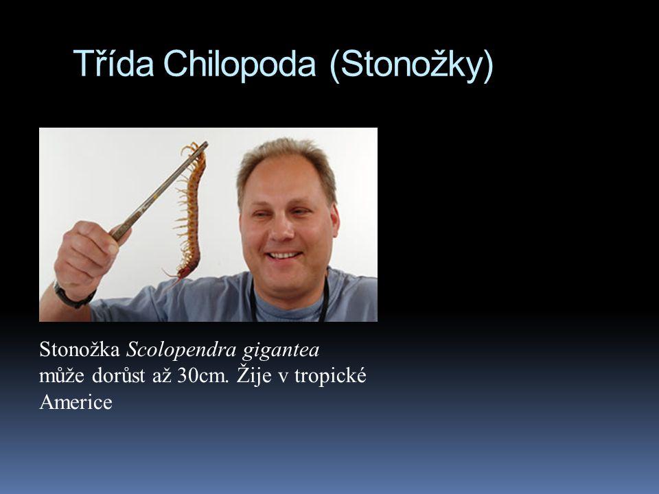 Třída Chilopoda (Stonožky) Stonožka Scolopendra gigantea může dorůst až 30cm. Žije v tropické Americe