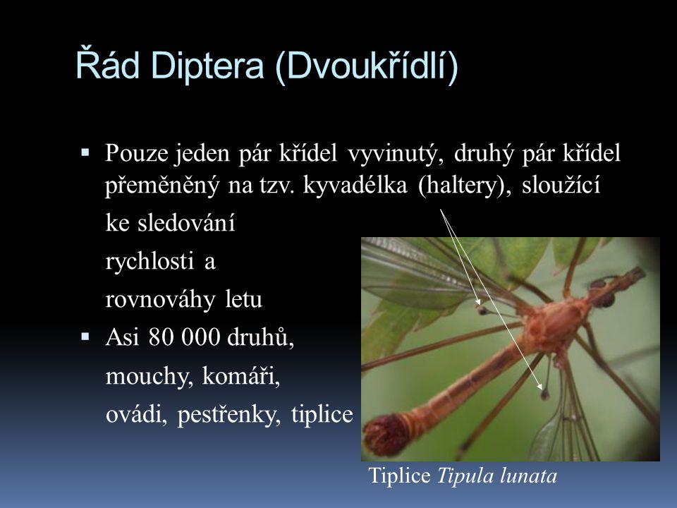 Řád Diptera (Dvoukřídlí)  Pouze jeden pár křídel vyvinutý, druhý pár křídel přeměněný na tzv. kyvadélka (haltery), sloužící ke sledování rychlosti a