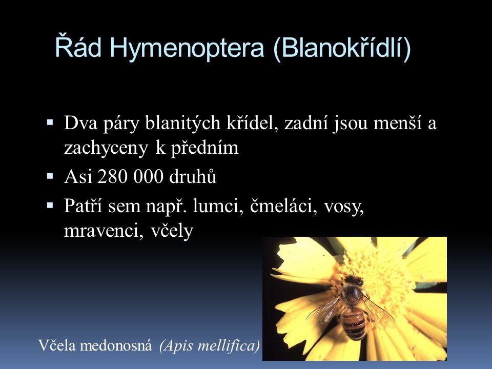 Řád Hymenoptera (Blanokřídlí)  Dva páry blanitých křídel, zadní jsou menší a zachyceny k předním  Asi 280 000 druhů  Patří sem např. lumci, čmeláci