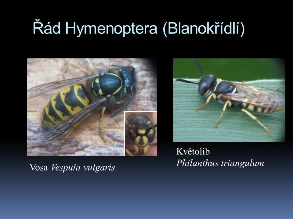 Řád Hymenoptera (Blanokřídlí) Vosa Vespula vulgaris Květolib Philanthus triangulum