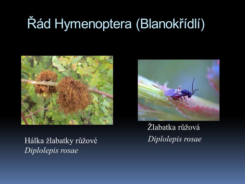 Řád Hymenoptera (Blanokřídlí) Hálka žlabatky růžové Diplolepis rosae Žlabatka růžová Diplolepis rosae
