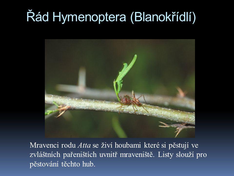 Řád Hymenoptera (Blanokřídlí) Mravenci rodu Atta se živí houbami které si pěstují ve zvláštních pařeništích uvnitř mraveniště. Listy slouží pro pěstov