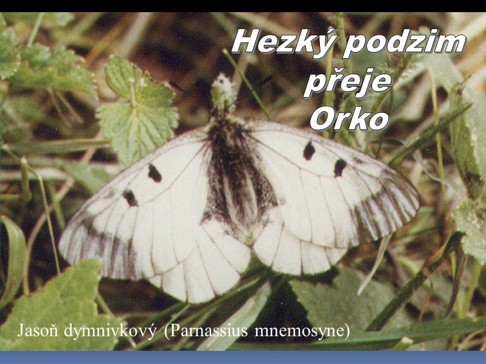Jasoň dymnivkový (Parnassius mnemosyne)