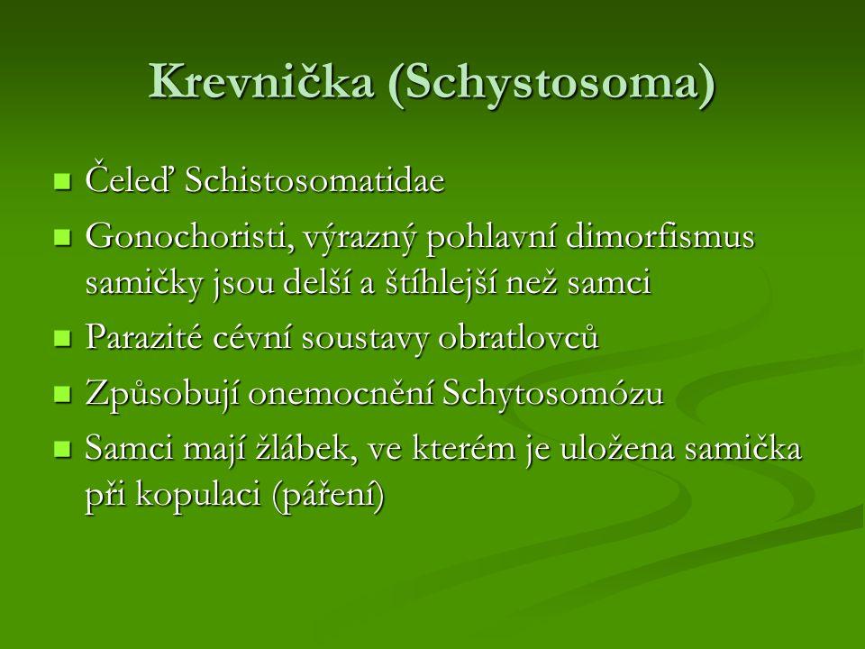 Krevnička (Schystosoma) Čeleď Schistosomatidae Čeleď Schistosomatidae Gonochoristi, výrazný pohlavní dimorfismus samičky jsou delší a štíhlejší než sa