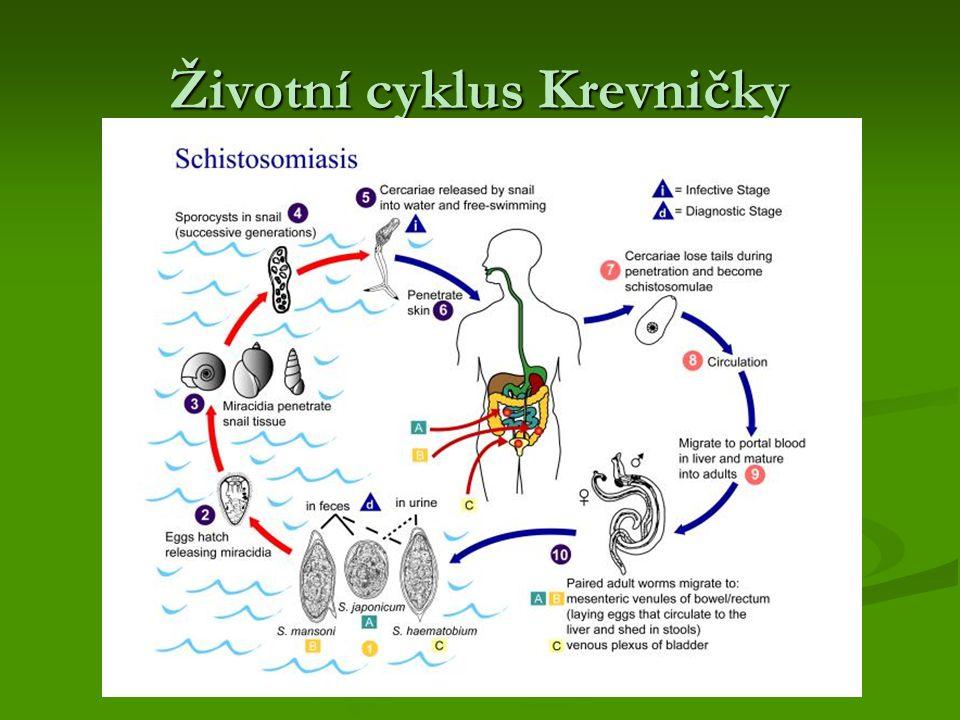Životní cyklus Krevničky