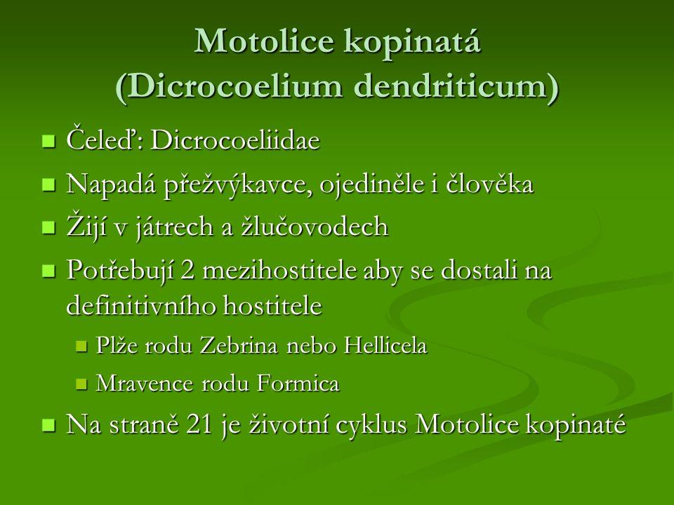 Motolice kopinatá (Dicrocoelium dendriticum) Čeleď: Dicrocoeliidae Čeleď: Dicrocoeliidae Napadá přežvýkavce, ojediněle i člověka Napadá přežvýkavce, o