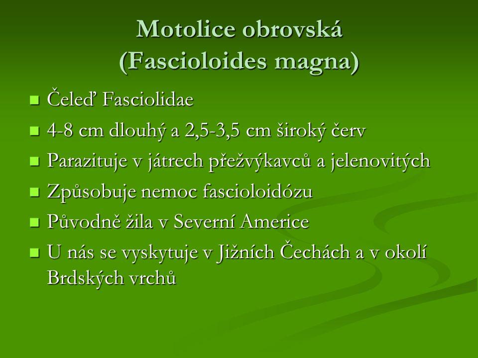 Motolice obrovská (Fascioloides magna) Čeleď Fasciolidae Čeleď Fasciolidae 4-8 cm dlouhý a 2,5-3,5 cm široký červ 4-8 cm dlouhý a 2,5-3,5 cm široký če