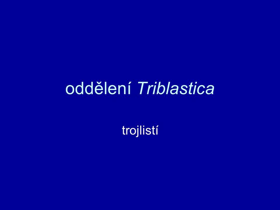 Triblastica dvoustrannádvoustranná souměrnost těla –příď těla (NS, smysl.