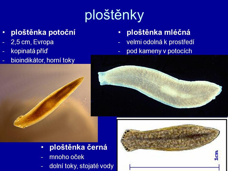 ploštěnka potoční -2,5 cm, Evropa -kopinatá příď -bioindikátor, horní toky ploštěnka mléčná -velmi odolná k prostředí -pod kameny v potocích ploštěnka