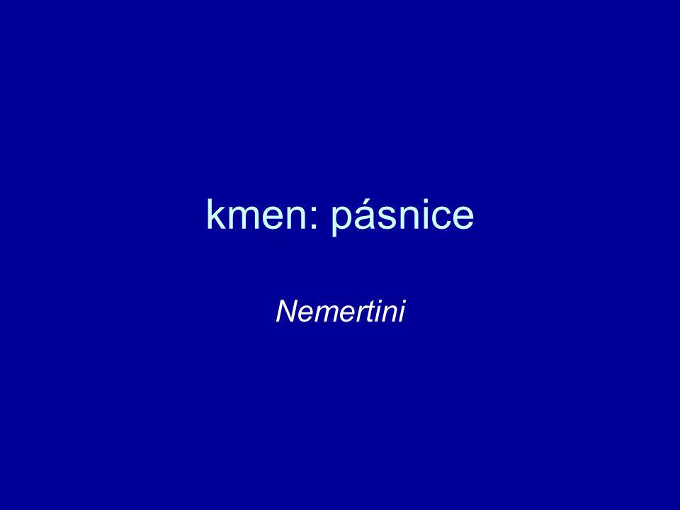 kmen: pásnice Nemertini