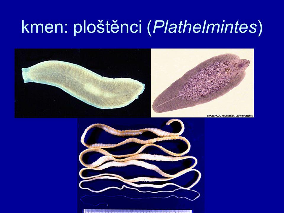 ploché, měkké tělo (dorzoventrálně zploštělé) schizocoel vyplněn tělní tekutinou hydrostatická kostra → hydrostatická kostra, vnitřní orgány slepáchybíTS slepá (svalnatý hltan), nebo druhotně chybí protonefridieVS = protonefridie –plaménkové buňkyplaménkové buňky –filtrace, osmoregulace chybíCS, DS chybí NS –provazcovitá –bez ganglií smysly –mechano- a chemoreceptory –inverzní oči hermafroditéRS - hermafrodité (páří se) ploštěnci