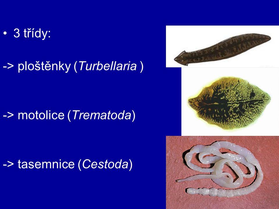 3 třídy: -> ploštěnky (Turbellaria ) -> motolice (Trematoda) -> tasemnice (Cestoda)