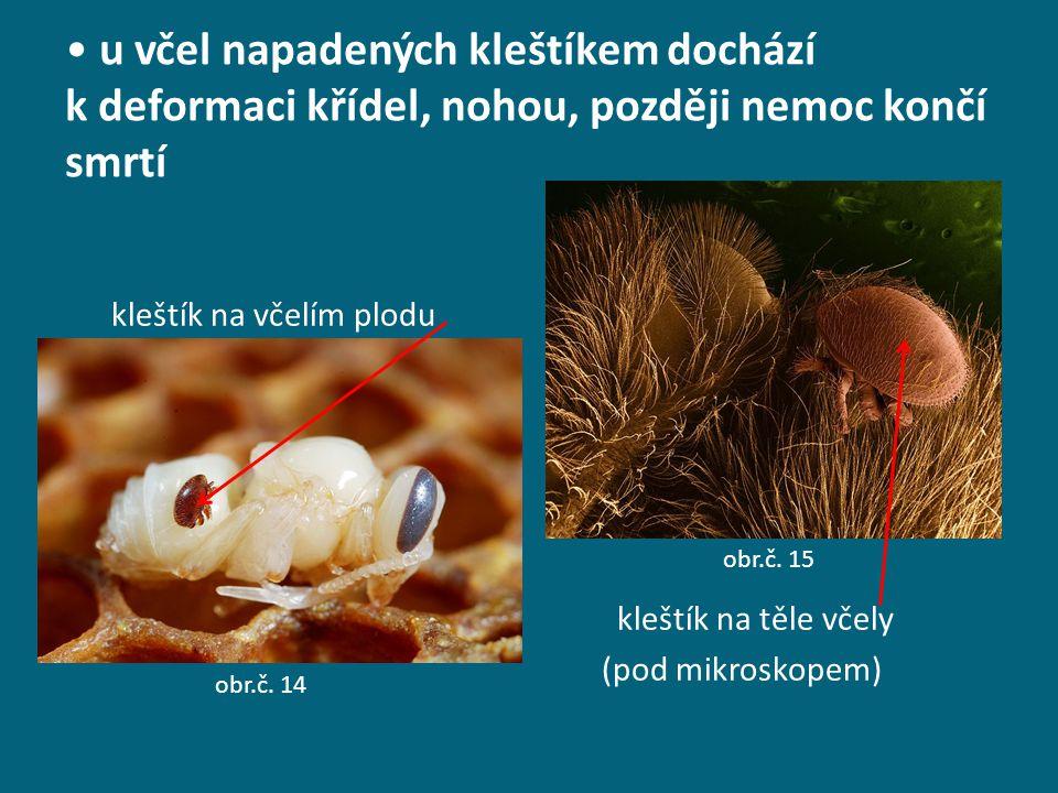 u včel napadených kleštíkem dochází k deformaci křídel, nohou, později nemoc končí smrtí kleštík na včelím plodu kleštík na těle včely (pod mikroskope