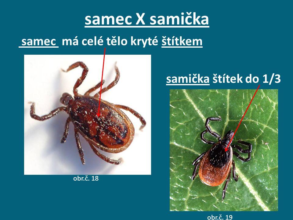 samec X samička samec má celé tělo kryté štítkem samička štítek do 1/3 obr.č. 18 obr.č. 19