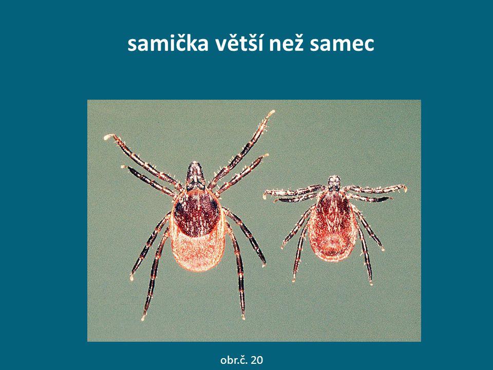 samička větší než samec obr.č. 20