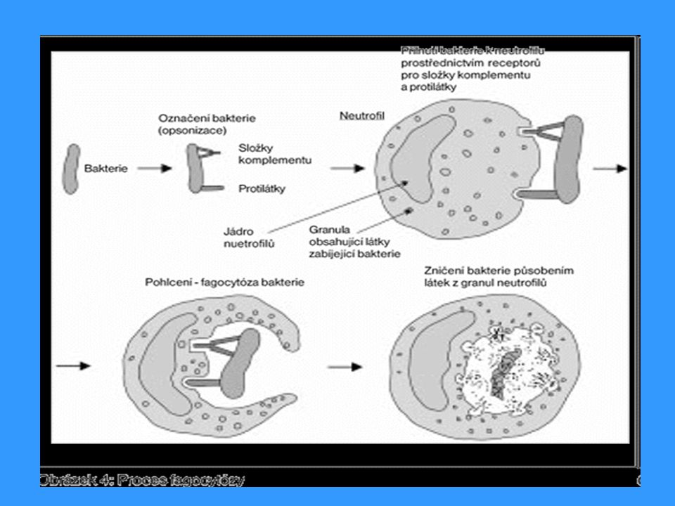b) pasivní imunizace  přirozená  přirozená - přestup mateřských protilátek do krve plodu  terapeutická  terapeutická - použití zvířecích protilátek proti různým toxinům (hadí jedy, tetanický toxin, botulotoxin)  profylaktická  profylaktická - lidský imunoglobulín z imunizovaných jedinců (hepatitida A, vzteklina, tetanus) - anti-RhD protilátky - zabránění imunizace matky RhD + plodem  poskytuje dočasnou (3 týdny) specifickou humorální imunitu  riziko vyvolání anafylaktických reakcí